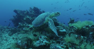 Sea turtle gets up from reef and swims away.