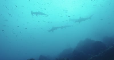 Silhouettes of a school of hammerhead sharks swimming above.