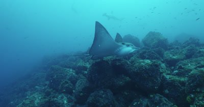 Spotted eagle ray swims along reef toward camera and turns out of frame.  Hammerhead sharks swim above it in background.