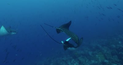 Spotted eagle rays swim by camera.  One attempts to mate with the other.