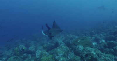 Two spotted eagle rays mating.