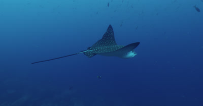 Spotted eagle ray swims along reef.