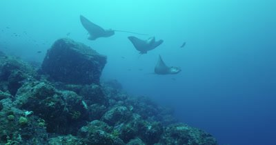 Three spotted eagle rays swim around together.
