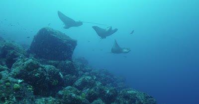 Three spotted eagle rays swim around together.