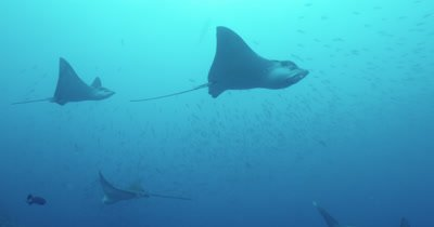 Spotted eagle rays swim across and out of frame. Large school of fish in background.