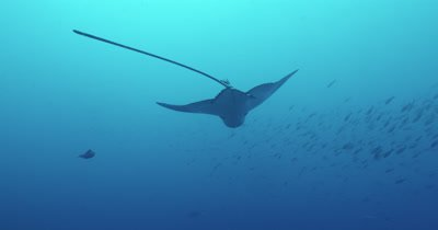 Spotted eagle ray swims in a circle.