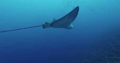 Spotted eagle ray from behind swimming.