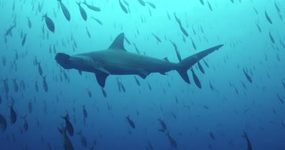 Hammerhead shark swims by camera as school of fish rain down around it.