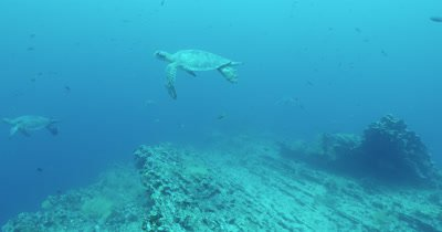 Five sea turtles swimming above reef.