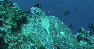 Sea turtle  on reef with other fish swimming in background.