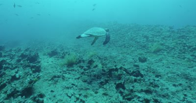 Sea turtle swimming near reef.   Swims over ledge of reef and exits frame.