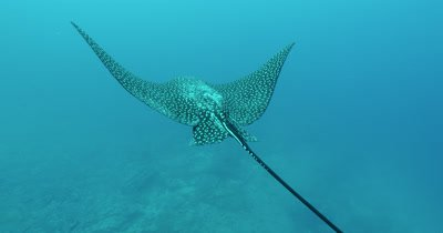 Spotted eagle ray side profile.  Turns to show spots and swims away.