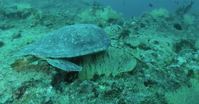 Move in on sea turtle resting on reef.