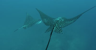 Move in on spotted eagle ray.  Side profile to rear shot revealing spots.