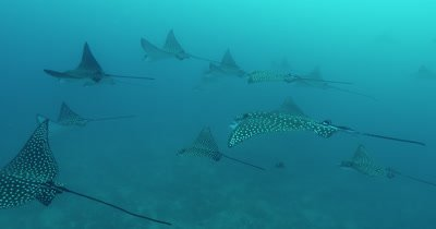 Group of spotted eagle rays swimming together.
