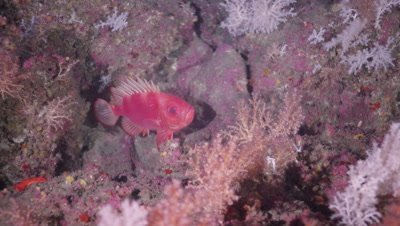 Rockfish lurking on reef.