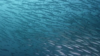 Huge school of pelican barracuda swimming.