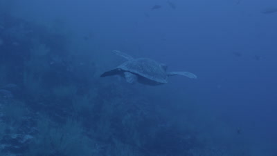 Large sea turtle swims away from camera.