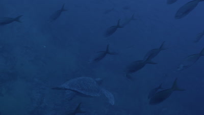 Sea turtle swims away from camera as Pacific creole fish swim at downward angle in foreground.