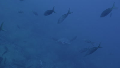 Sea turtle swims away from camera.  Pacific creole fish swim at downward angle in foreground.
