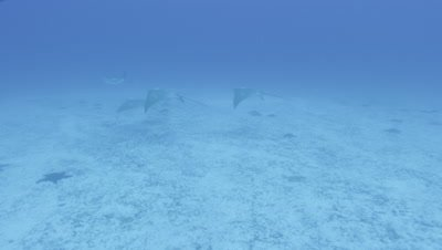 Small group of stingrays feed, kicking up a trail of sand along seabed.