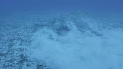 Stingrays grazing along the ocean floor and kicking up sand.