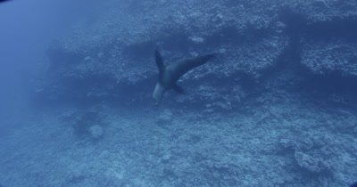 Sea lion comes into frame against a rocky background.  He does some flips under the water and leaves frame.