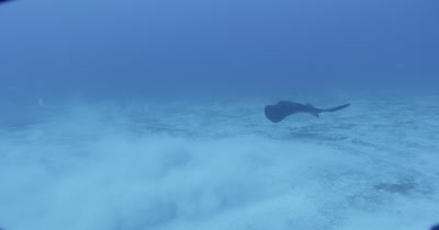 Small group of stingrays kick sand up from ocean floor.  Large black ray  enters frame.