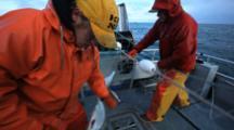 Bristol Bay Salmon Fishery - Fishermen Picking Fish From Gillnet