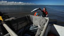 Bristol Bay Salmon Fishery - Setnetters Throw Fish Into Totes