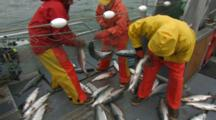 Bristol Bay Salmon Fishery - Fishermen Pick Fish From Net