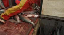 Bristol Bay Salmon Fishery - Fishermen Push Fish Into Hold