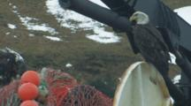 Bald Eagles Pick Food From Net On Trawler, Dutch Harbor, Alaska, Unalaska