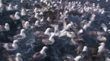 Crab Fishing Bering Sea - Northern Fulmar And Seagulls Fight Over Scraps Of Bait