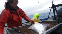 Men On Fishing Boat Handle Halibut Catch, Longlining For Halibut And Black Cod Alaska