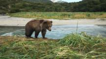 Brown Bears Grizzly Bears Of Katmai - Brown Bear Cub Climbs Up River Bank And Walks Past Camera While Mother Fishes In Background
