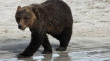 Brown Bears Grizzly Bears Of Katmai - Young Bear Walks Along Sandy Beach