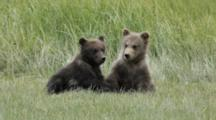 Brown Bears Grizzly Bears Of Katmai - Yearling Cubs Play And Wrestle In Meadow