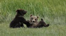 Brown Bears Grizzly Bears Of Katmai - Yearling Cubs Play And Wrestle In Meadow, One On Back Paws In Air