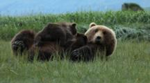 Brown Bears Grizzly Bears Of Katmai - Close Up Mother Nurses Cubs In Grassy Meadow
