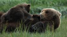 Brown Bears Grizzly Bears Of Katmai - Extreme Close Up Mother Nurses Cubs In Grassy Meadow