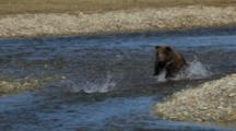 Brown Bears Grizzly Bears Of Katmai - Small Yearling Cub Chases Salmon, Stands On Hind Feet