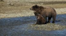 Brown Bears Grizzly Bears Of Katmai - Mother And Cubs Sit On Sandbar Watching For Salmon