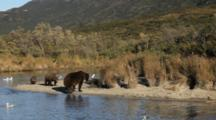 Brown Bears Grizzly Bears Of Katmai - Standoff Between Injured Mother With Cub And Old Boar