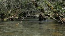 Brown Bears Grizzly Bears Of Katmai - Bear Lunges Back And Forth To Catch Salmon