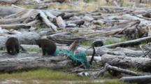 Brown Bear Grizzly Bear Cubs Play With Washed Up Fishing Net, Marine Debris