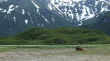 Brown Bears Grizzly Bears Of Katmai - Wide Shot Of Bear Resting On Tidal Flats Under Mountains