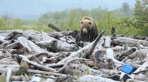 Brown Bears Grizzly Bears Of Katmai - Mother And Two Small Cubs Walks Across Driftwood And Marine Debris