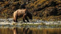 Brown Bears Grizzly Bears Of Katmai - Bear Digs For Clams Near Kelp Covered Rocks, Morning Light