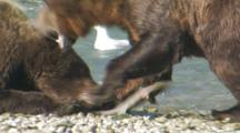 Brown Bears Grizzly Bears Of Katmai - Mother And Aggressive Cub Fight Over Flopping Salmon